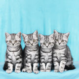 Four kitten in a row Royalty Free Stock Photo
