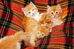 Four kittens hide in the folds of the plaid Stock Images