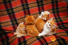 Four kittens hide in folds of plaid Royalty Free Stock Photography