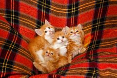 Four kittens hiding in the folds of the plaid Stock Photo