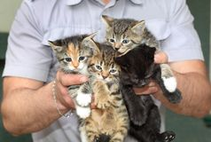 Four kittens in the male hands. Royalty Free Stock Image