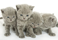 Four kittens over white Royalty Free Stock Photos