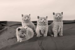 Four kittens portrait, black background,. Newly born British Shorthair kittens portrait, close-up view, on a black and white background, copyspace royalty free stock photos