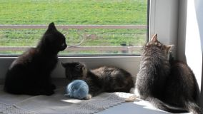 Kittens Playing on Windowsill stock footage