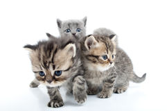Four kittens walking together Royalty Free Stock Image