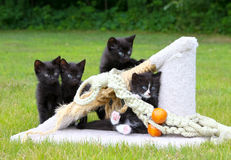 Four Kitties. Four kittens play outside on the grass Royalty Free Stock Images