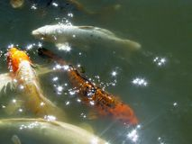 Four koi beneath glinting sunlight. Four koi in pond, with light sparkling and glinting above them.  Orange, white, yellow, and red with black background Royalty Free Stock Images