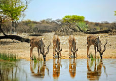 Four Kudu drinking at a waterhole in Onguma Private reserve Stock Image