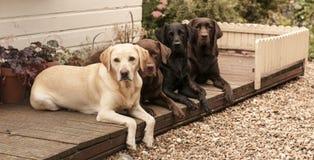 Four labradors. Chocolate, black and yellow Labradors in the garden Stock Photo