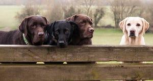 Four labradors. Four cute labradors sat on a bench Stock Photo