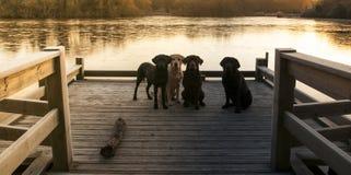 Four labradors. Labradors at the lake in early morning winter sun Stock Photos