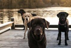 Four labradors. Labradors at the lake in early morning winter sun Royalty Free Stock Photos
