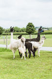 Four Lama's on farm in Amish country Royalty Free Stock Photography