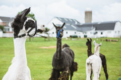 Four Lama's on farm in Amish country Stock Photos