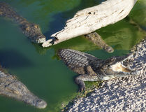 Four large American crocodiles Royalty Free Stock Images