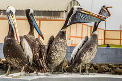 Four large pelican sitting Royalty Free Stock Images
