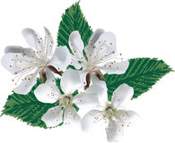 Four large white apple tree blooms Royalty Free Stock Images