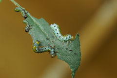 Four larvae larvae Sawfly lat. Arge ochropus on the roses Stock Images