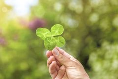 Four leace Clover in Hand royalty free stock image
