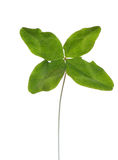 Four-leaf clover stock image