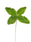 Four-leaf clover Stock Image