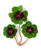 Four leaf clover. On white background Royalty Free Stock Photos