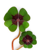 Four leaf clover. On white background Royalty Free Stock Images