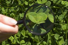 Four-leaf clover. Clover on the lawn. Search Stock Photo