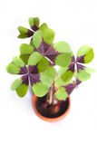 Four leaf clover. 4 leaf clover in a tiny flowerpot with a white background Stock Photo