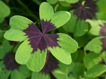 Four leaf clover. Background with four leaf clover Stock Images