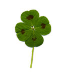 Four-leaf clover. A four leaf clover isolated on white stock image