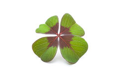 Four leaf clover. On a white background Royalty Free Stock Images