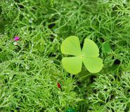 The four leaf clover. After the rain, the four leaf clover try to get the sunshine. this is the signal of luck royalty free stock photos