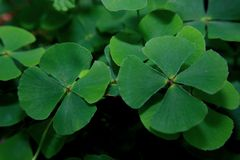 four leaf clover royalty free stock photos
