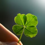 Four leaf clover. Hand holding a four leaf clover on the ground stock images