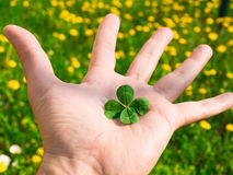 Four Leaf Clover. In the human hand Royalty Free Stock Photography