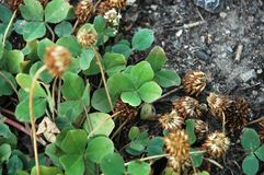 Lucky four-leaf clover royalty free stock photos