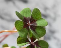 A four-leaf clover. With bright backgorund stock image