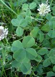 Four Leaf Clover Discovery. A four leaf clover standsout against other clovers royalty free stock images