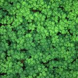 Four-leaf clover field for background Stock Photos