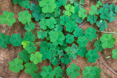 Four Leaf Clover. Focus on center royalty free stock photography