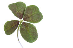 Four-leaf clover for good luck stock image