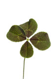 Four-leaf clover for good luck Royalty Free Stock Photo