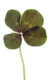 Four-leaf clover for good luck Stock Photos