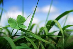 Four leaf clover in grass. Four leaf clover growing amounst wild grass focus on the clover Royalty Free Stock Photos