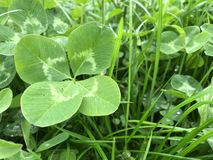 Four-leaf Clover in grass. Four-leaf Clover in green grass stock images