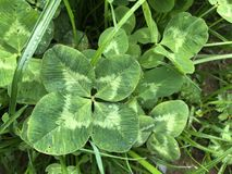 Four-leaf Clover in grass. Four-leaf Clover in green grass stock image