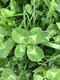 Four-leaf Clover in grass. Four-leaf Clover in green grass stock photos