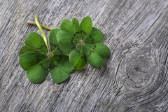 Four leaf clover Stock Images