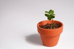 Four-leaf clover growing in a clay pot Royalty Free Stock Image